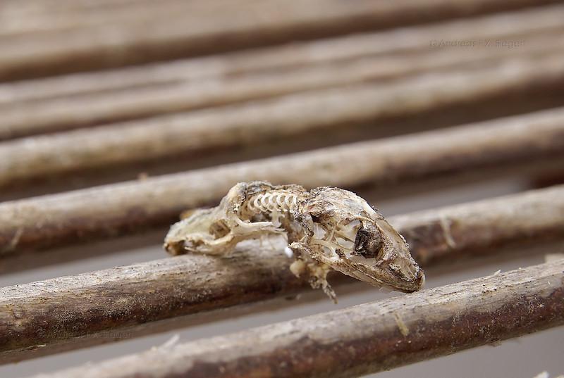 Lizzard skeleton