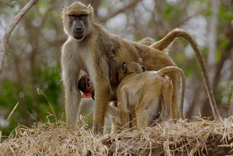 Baboon on the Rufiji river