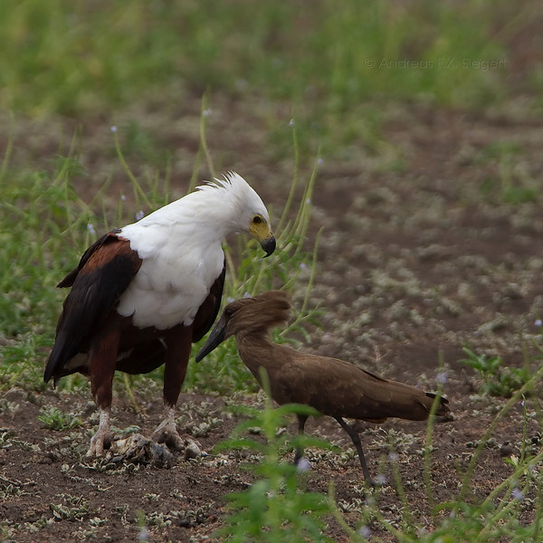 Feeding African Fish Eagle with a Hammerkop looking for scraps