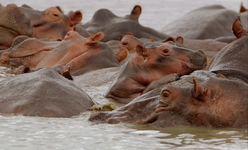 Peeking baby hippo