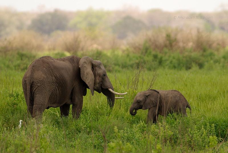 Elephants in greenery