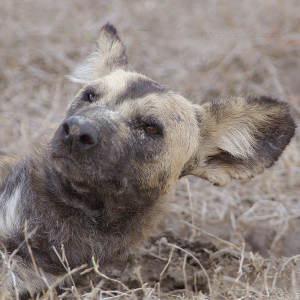 African Wild Dog - Selous Game Reserve