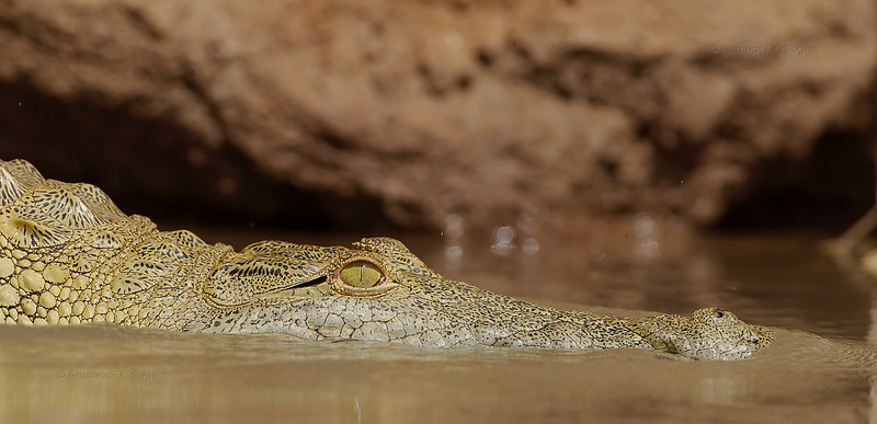 Young crocodile on the Rufiji river