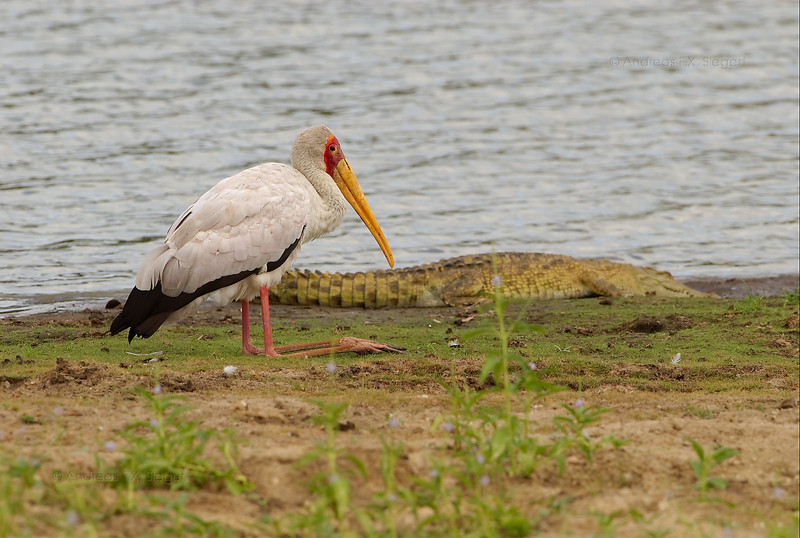 Yellow-billed stork with crocodile