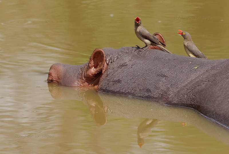 Hippo with red-billed oxpeckers