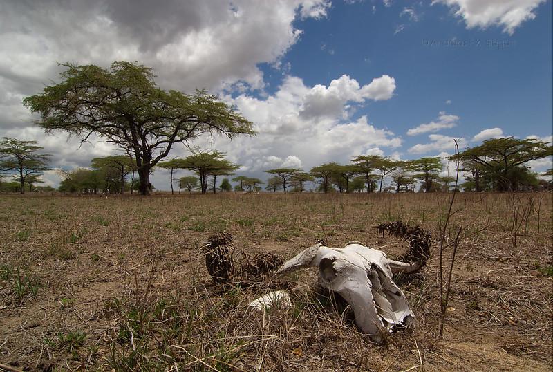 Buffalo skull in Selous game reserve