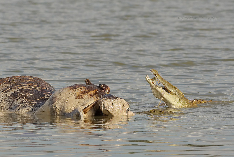 Dead hippo with crocodiles