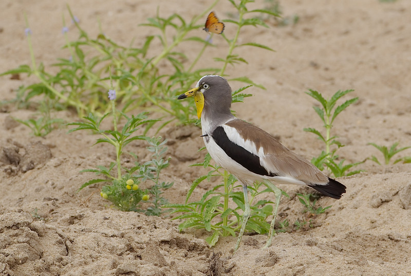 White crowned plover with butterfly