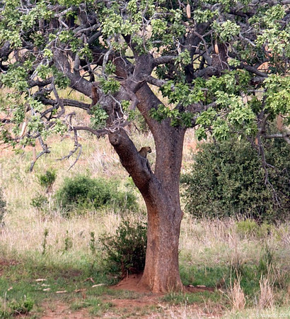 Leopard in a tree outside the hotel grounds at Tarangire. (photo courtesy Dick Norwood)