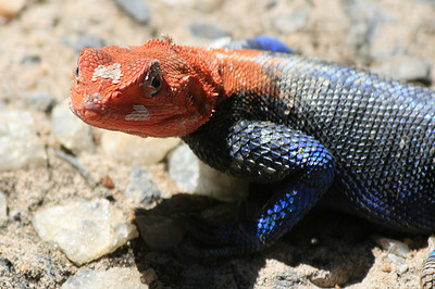 Agama lizards welcomed us to Tarangire National Park (photo courtesy of Jim Furner)