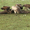 Vultures having ribs