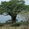 The hole in the baobab tree is from elephants digging out wood for food and moisture.