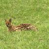 Mother serval cat
