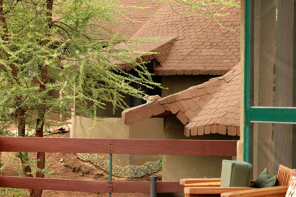 Hyrax on Lake Manyara hotel roof.