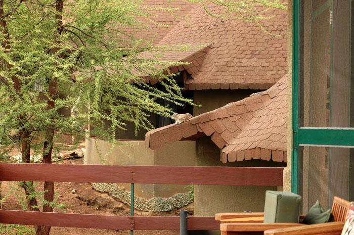 Hyrax on Lake Manyara hotel roof.