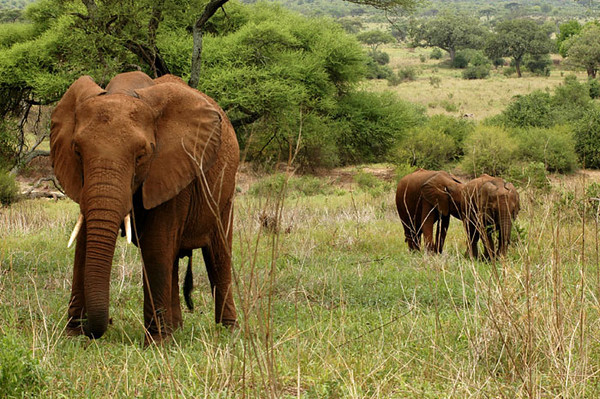 We met these elephants for breakfast at Lake Manyara.