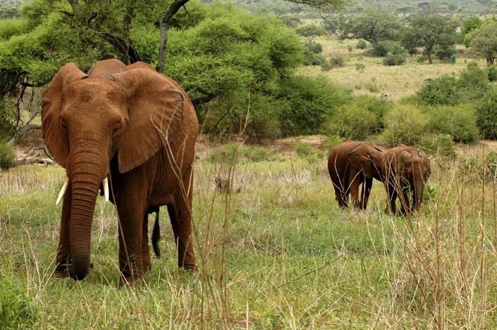 We met these elephants for breakfast at Lake Manyara.