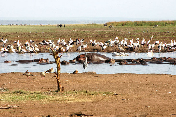 Hippos and storks