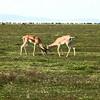 Fightin' gazelle