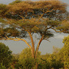 The trees in East Africa are amazing.
