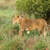 First lion we saw - he had a wounded leg