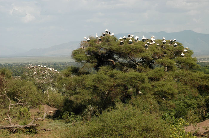 Storks in trees, Lake Manyara