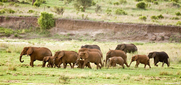A large herd of elephants waded through a river and headed off to their resting area in the evening. (photo courtesy of Dick Norwood)