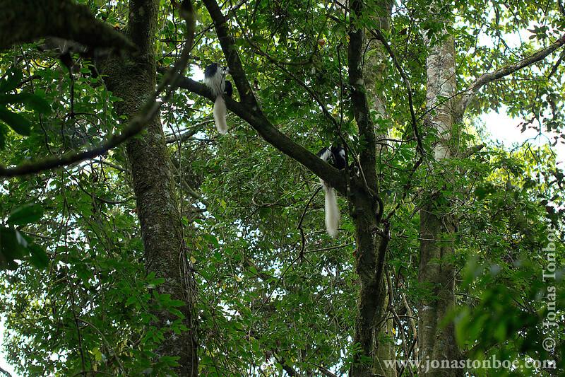 Eastern Black-and-white Colobus aka Mantled Guereza
