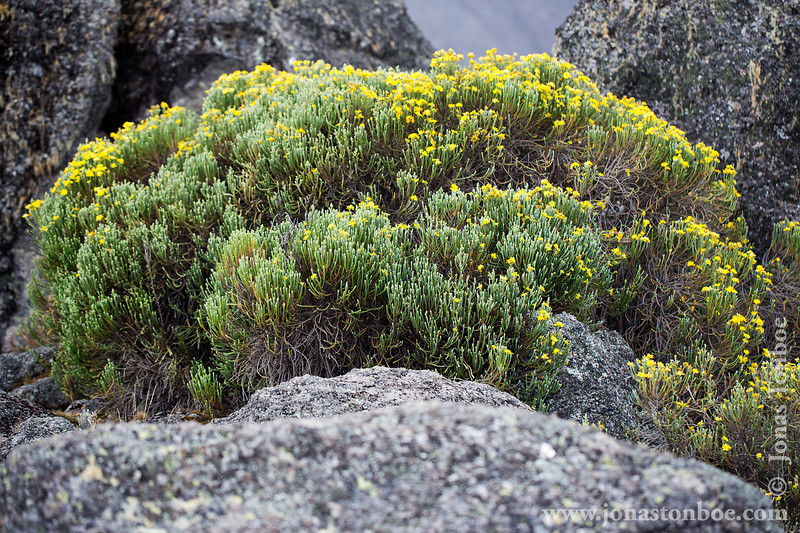 Karanga Camp at 3900 Meters - Alpine Vegetation