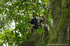 Eastern Black-and-white Colobus aka Mantled Guereza