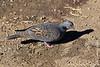 Barranco Camp at 3950 Meters - Dusky Turtle Dove