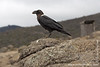 Karanga Camp at 3900 Meters - White-necked Raven