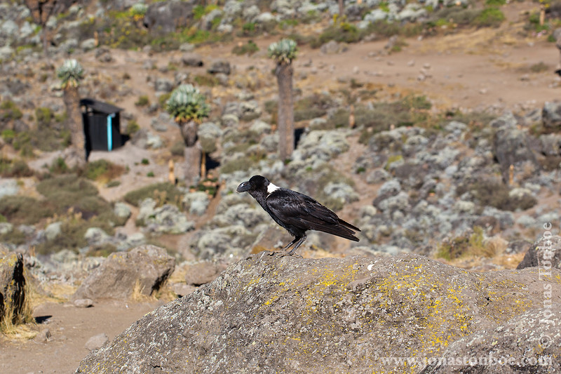 Barranco Camp at 3950 Meters - White-necked Raven