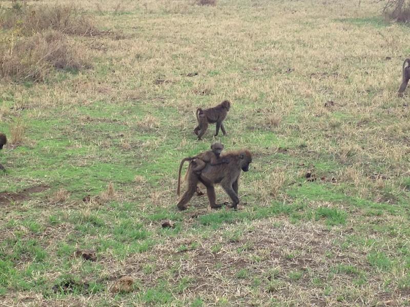 Monkey's at Ngorongoro Crater, Karatu.