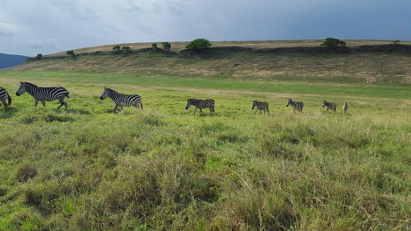 Zebra's in the Ngorongoro conservation area. Photo by Patti Austin.