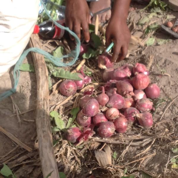 A onion harvest. Photo by Eva J Yeo