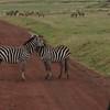 Zebra's at Ngorongoro Crater, Karatu.