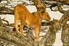 Tree Climbing African Lion