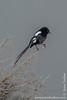 Magpie Shrike aka Long-tailed Shrike aka Eastern Long-tailed Shrike