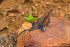 Male Mwanza Flat-headed Rock Agama aka Spiderman Agama