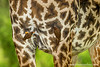 Yellow-billed Oxpecker on Masai Giraffe aka Kilimanjaro Giraffe