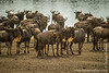 Blue Wildebeest aka White-bearded Wildebeest aka Common Wildebeest