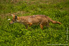 Common Jackal aka Golden Jackal
