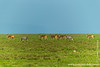 Burchell's Zebra aka Plains Zebra and Common Eland