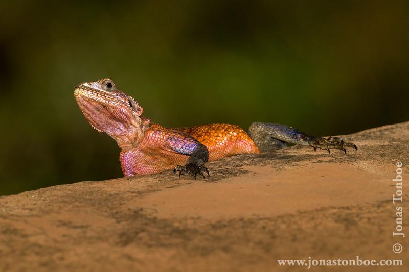Male Mwanza Flat-headed Rock Agama aka Spiderman Agama