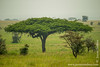 Tree Climbing Lion in Acacia Tree