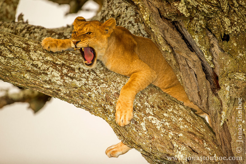 Tree Climbing African Lion