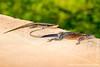 Skink and Male Mwanza Flat-headed Rock Agama aka Spiderman Agama