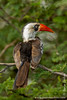African Red-billed Hornbill aka Northern Red-billed Hornbill