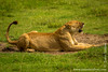 Female African Lion